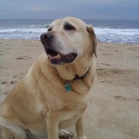 Yellow Labrador NJ Shore | Kinetic Knowledge
